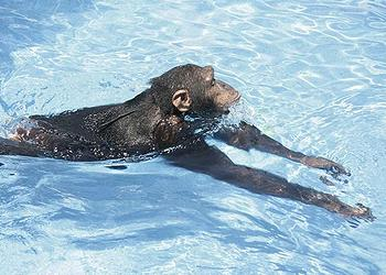 chimp swims