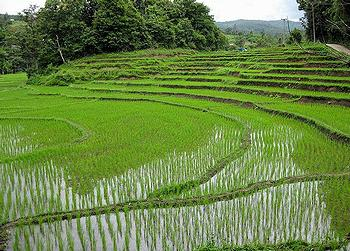 Rice fields near Chiang Mai,Thailand (Photo credit unknown)