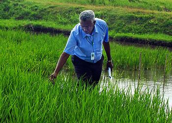 Dr. Ismail, Plant Physiologist at IRRI, inspects rice varieties with the sub 1 gene. The sub 1 gene is responsible for flood tolerance in rice. (Photo courtesy IRRI)