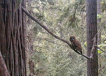 forest, owl