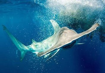 Hammerhead shark (Photo by Neil Hammerschlag)