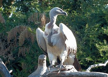 Capte vulture