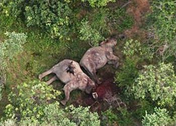 dead elephants
