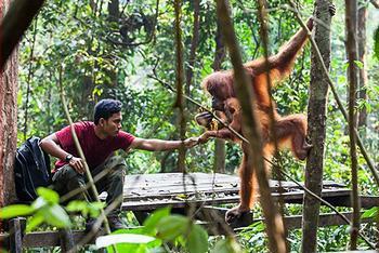 ranger, orangutans