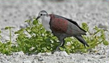 Polynesian Ground-dove