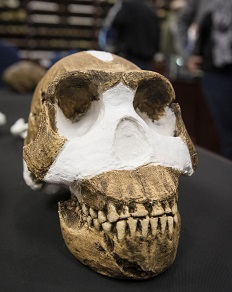 Homo naledi skull(Photo courtesy Wits University)