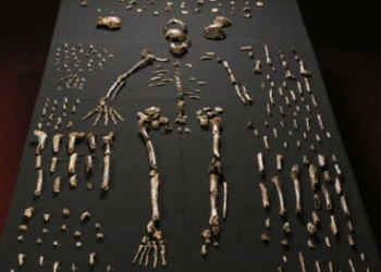 Nearly complete Homo Nalendi skeleton and bones (Photo by John Hawks_Wits University)