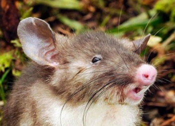 The Hog-nosed rat, Hyorhinomys stuempkei, (Photo by Kevin C. Rowe, Senior Curator of Mammals, Museum Victoria)