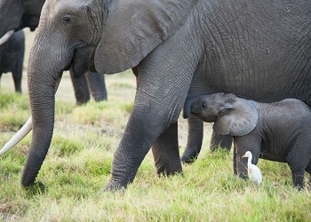 Elephant mother and baby in Amboseli National Park, Feb. 2015 (Photo by Jessica Leas)