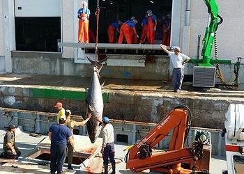 unloading tuna