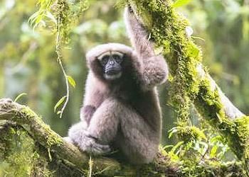 new gibbon