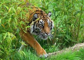 endangered tigers face new enemy wire snares ens