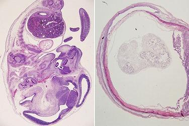 mouse fetuses