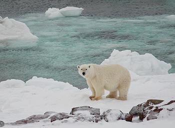 bear, ice