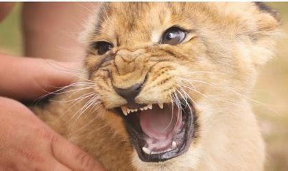 infant lion