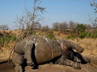 rhino dead