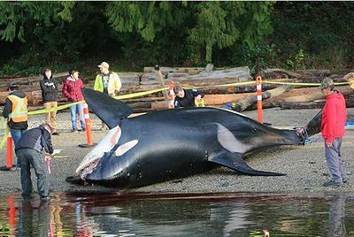 dead killer whale